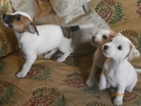 Gorgeous puppies , Jack Russell X Parson Terrier .