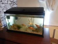4 Large Goldfish & 45L complete Fish Tank (can deliver)