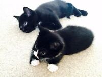 Beautiful Black and Tuxedo (white socks) Kittens with Starter Kit and Information Pack