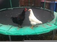 2 Chickens for sale 3 months old