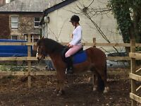 11.2 hh bright bay gelding for sale