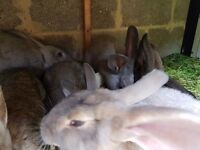 French Lop cross Continental Giant bunnies for sale