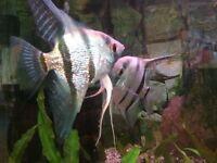 Pair of angelfish
