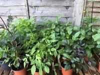 Dahlia Plants for sale