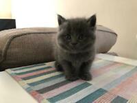 British Shorthair Cross kittens