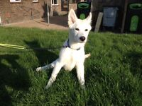 Alsatian cross husky male puppy for sale. All vaccinations up to date. 16 weeks old.