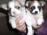 TWO BEAUTIFUL CHIHUAHUA PUPPIES FOR SALE.