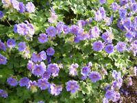 Stunning Hardy Geranium