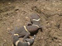 female hainan cave gecko with rub setup