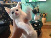 2 Beautiful kittens. White like snow. very cute