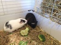 Guinea pigs and indoor cage for sale, 2 males about 4 months old, get on very well