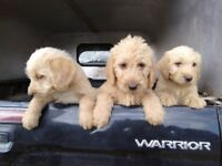 Apricot and champagne Labradoodle Pups