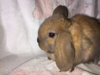 ***** NOW SOLD - OTHER SUPERB BABIES FOR SALE ! ***** TOP PEDIGREE SOOTY FAWN MINI LOP FOR SALE-