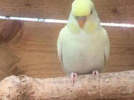Lovely young budgies