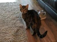Two cats for sale as baby has confirmed allergies , both one and a half years old