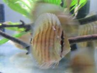 Super Red Curipeau Discus for sale