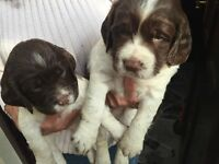 Springer Spaniel 5th Generation Puppies For Sale
