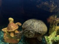 Mr Turtle is looking for loving new home