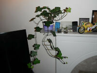 Several English ivy plants (in 2 litre pot) for growing indoor or outdoor