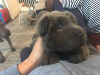 KC Registered Shar Pei Puppies, Bear, brush and horse coats