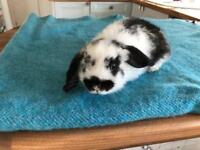 Baby Lop Bunny (male)