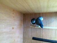 pair of blue celestial parrotlets/celestial parrots. beautiful birds not tame