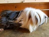 pair of long hair Peruvian guinea pigs