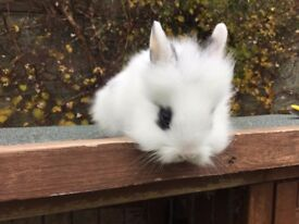 Baby rabbits very cute and fluffy Dwarf/lionhead