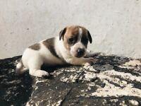 Mini JackRussell Puppies