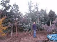Cedrus atlantica glauca, blue cedar apporx 18ft tall or larger if required,