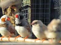 Zebra finches for sale £5 each or £9 a pair .