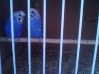 A blue pair of budgies