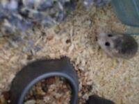 Male Roborovski hamster, cage and accessories