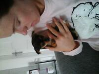 chorkie puppy ready now ,,,1 stunning wee girl x