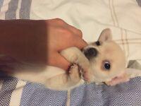 Teacup Chihuahua girl