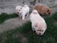 Chow Chow Pure Breed, used for sale  Weoley Castle, West Midlands