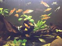 Swordtails For Sale