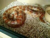 Cornsnake comes with vivarium very docile and friendly