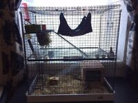 2 Male Degus with Cage and Accessories