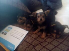 Small yourkshire terrier pups for sale.