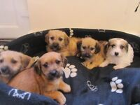"""LOOK"" lovely DACHSHON PUPS , Red dachshund X bishon frise , 3girls& 1 boy £275"