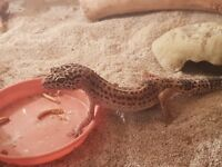 Female Leopard Gecko - Can Come with Set Up