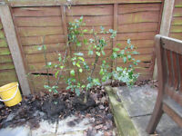 TWO MATURE HOLLY BUSHES......just £5 for the pair.