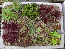 sempervivums, House Leeks in polystyrene troughs Fully Hardy Alpines, suitable for rockeries