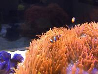 Red bubbletip anemone on rock with bonded pair clownfish