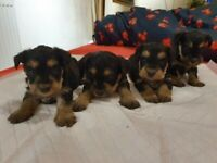 Adobrable Snorkie Puppies for sale