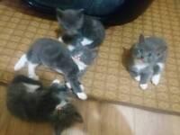 Bsh mix kittens