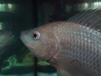 Tilapia fish Oreochromis Niloticus Nile Tilapia live fingerlings baby fish best fish for aquaponics