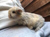 Mini lop baby rabbits.