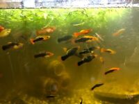 Beautiful Platy and Platy fry for sale